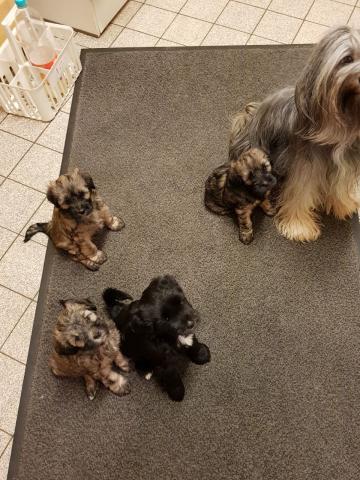 Die Tibet Terrier Babys warten aufs essen