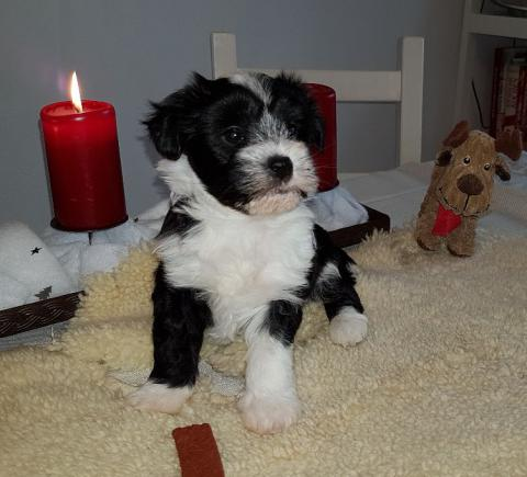 Tibet Terrier Welpe Hündin Bhumi