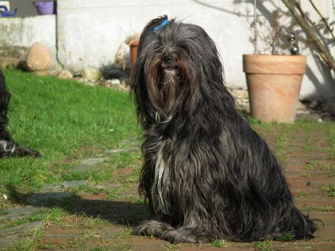 """Tibet Terrier - Hündin """"Mo"""", die Mami"""