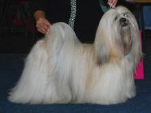 Lhasa Apso Chic Coix Five Miles Out