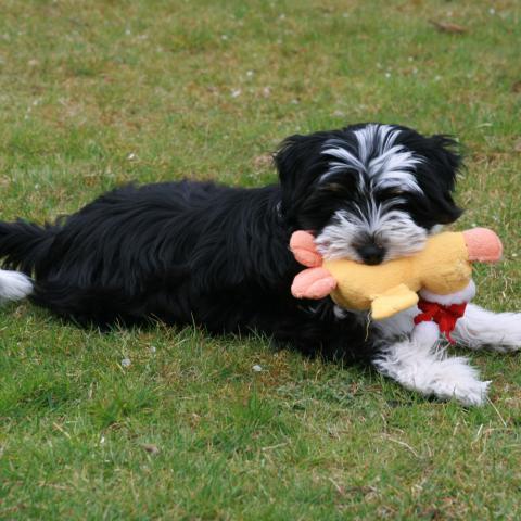 Tibet Terrier Hündin 9 Wochen mit Spielzeug