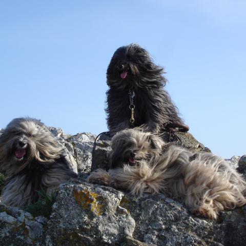 Tibet Terrier Rüde und Hündinnen im Urlaub