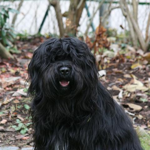 Tibet Terrier Jungrüde black and tan im Garten