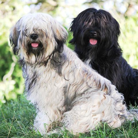 Tibet Terrier im Erwachsenenalter