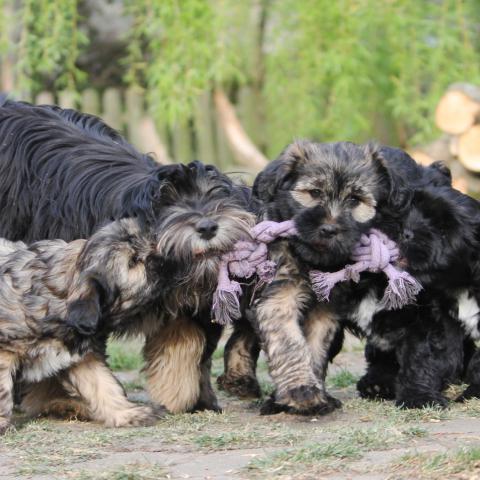 Tibet Terrier Welpen spielen Tauziehen mit der Mutter