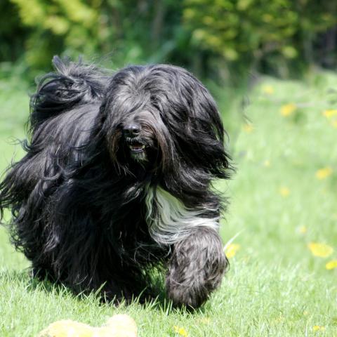 Tibet Terrier schwarz m. weißen Abzeichen in vollem Haar