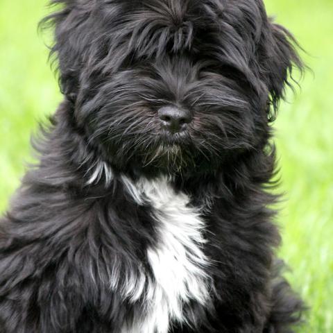Tibet Terrier Welpe schwarz mit weißen Abzeichen