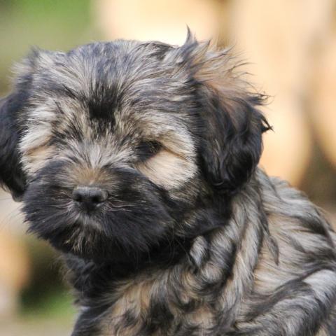 Tibet Terrier Welpe zobelfarbig