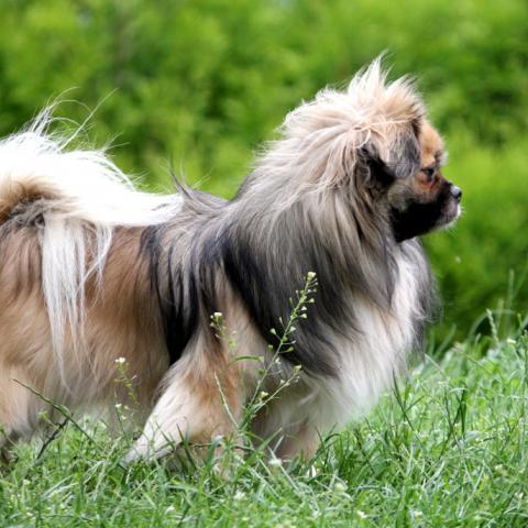 Tibi auf der Wiese mit tollem Haarkleid