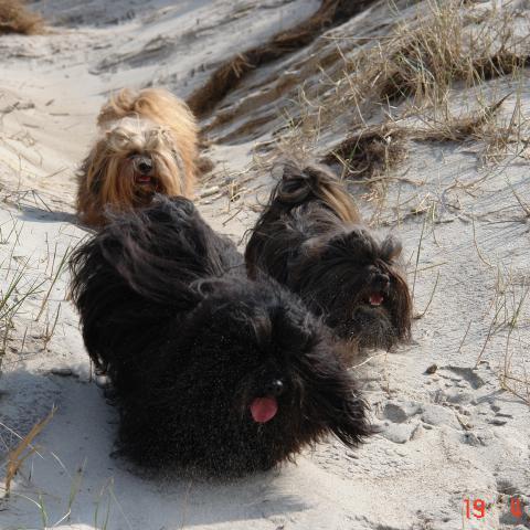 Lhasa Apso erkunden die Dünen am Strand