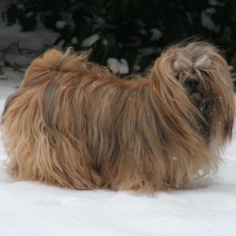 Lhasa Apso Hündin 4-jährig im Schnee