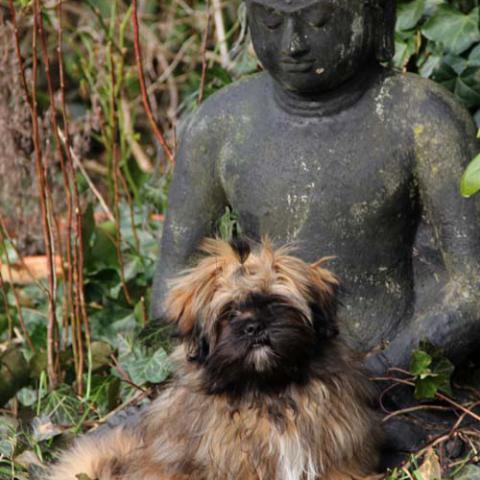 Lhasa Apso Welpe in den Armen Buddhas:-)