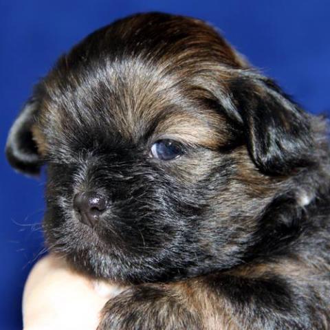 Lhasa Apso Baby 12 Tage alt