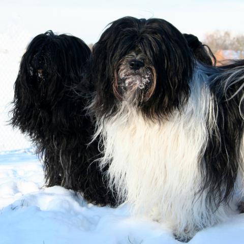 Tibet Terrier im Schnee