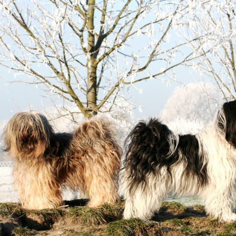 Tibet Terrier in gold und weiß-schwarz