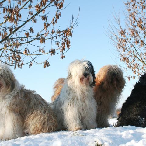 Tibet Terrier genießen das Winterwetter