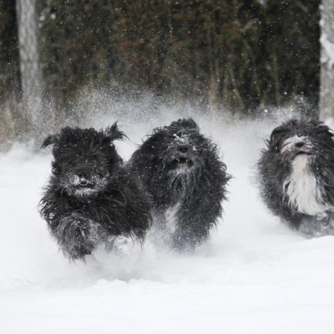 Tibet Terrier Trio tobt im Neuschnee