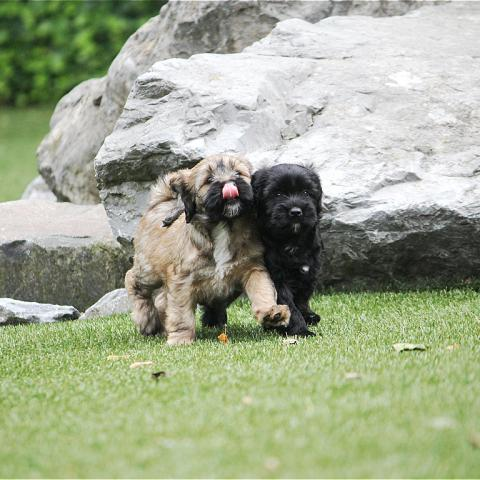 Tibet Terrier Welpen erobern die Welt