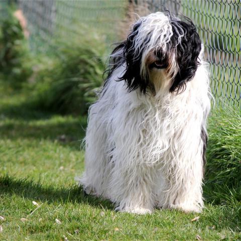 Tibet Terrier weiß mit schwarzen Abzeichen