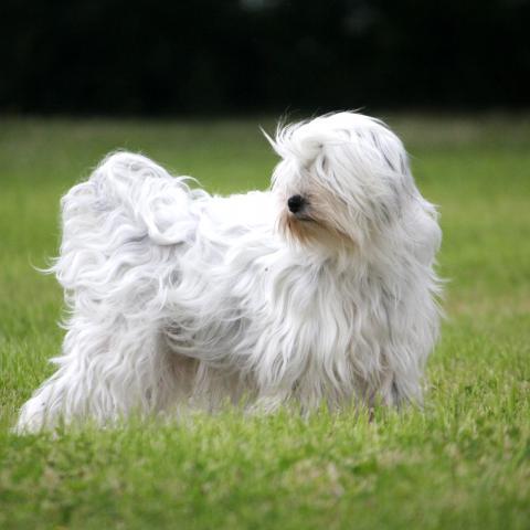 Tibet Terrier ganz in weiß