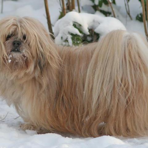 Lhasa Apso im Winter