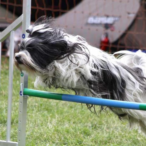 Tibet Terrier Hündin im Agilitiy Parcour