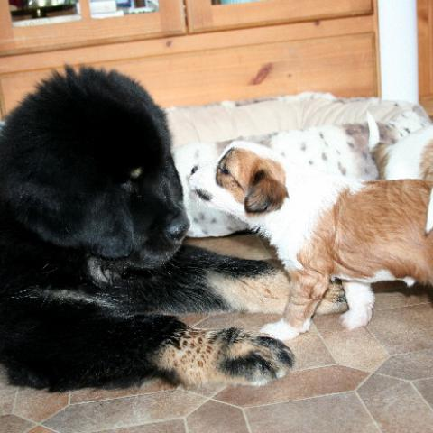 Do Khyi und Tibet Terrier Welpe