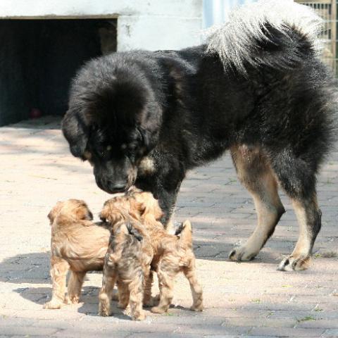Do Khyi und Tibet Terrier Welpen