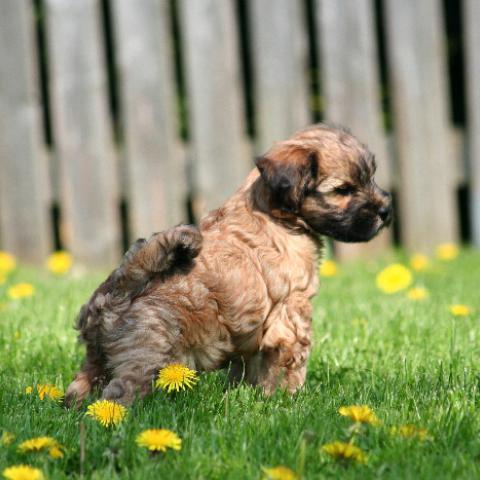 Tibet Terrier Baby