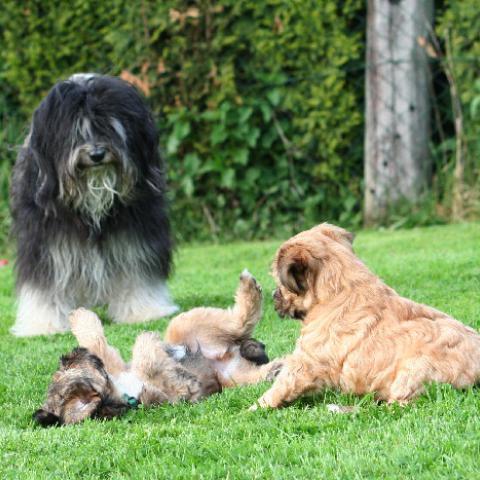Tibet Terrier Hündin mit Welpen