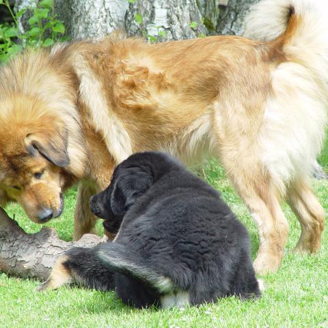 Do Khyi spielen miteinander