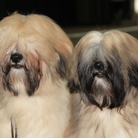 Lhasa Apso Junghunde