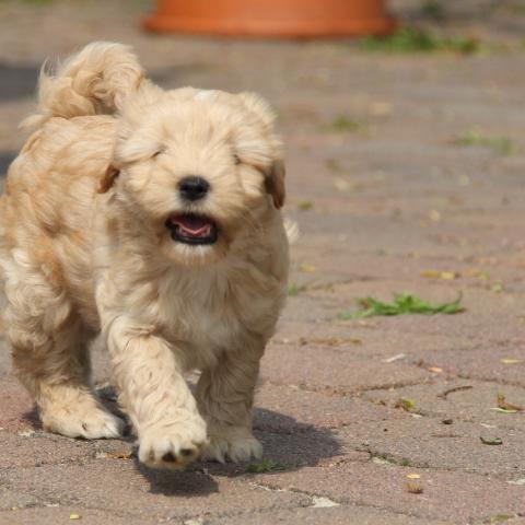 Tibet Terrier Welpe gold