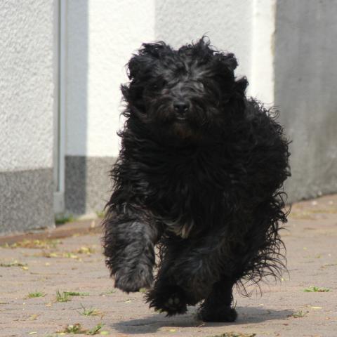 Tibet Terrier Jüngling