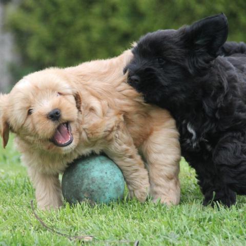 Tibet Terrier Welpen beim Spiel