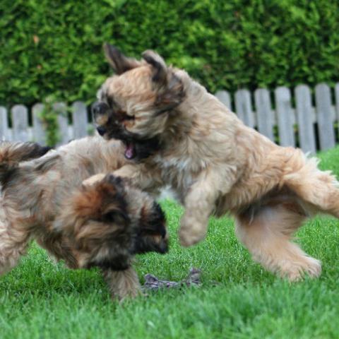 Tibet Terrier Welpen Kampfspiele