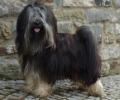 Tibet Terrier Barney am Tag der Körung vor einer Steinmauer